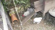 Zwerg Hühner verschiedene