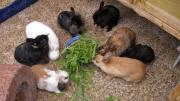 Zwerg-Kaninchen,Widder,