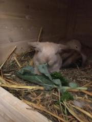 Zwergwidder Kaninchen