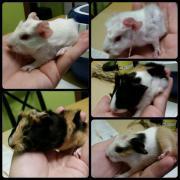 5 Meerschweinchen Babies
