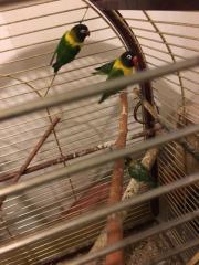 agaporniden vögel