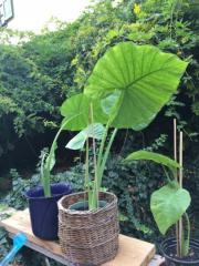 grosse terrassenpflanzen verschiedene sorten biblische pflanzen in l rrach kaufen und. Black Bedroom Furniture Sets. Home Design Ideas