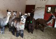 Alpakas-tragende Stuten