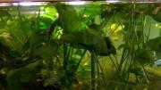 Aquarium Pflanze Anubia