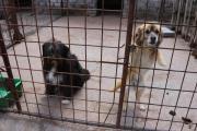 Bekki - Tibet Terrier-