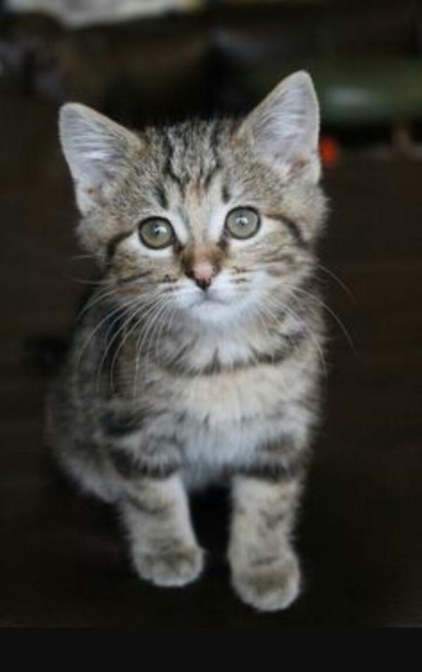 Bengalmix Babykatze abzugeben in Breisach - Katzen kaufen