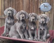 Blaue Deutsche Doggen