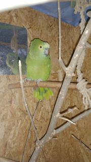 Blaustirnamazonen Papagei Amazonen