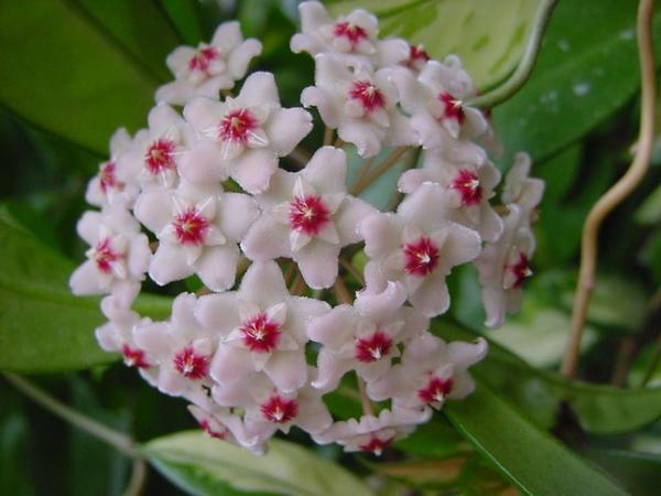 blühende Zimmerpflanzen Hoya Klivie Kaktus