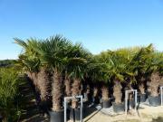 Bodenseepalmen Olivenbäume Palmen Olivenbaum Palme