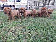 Bordeauxdoggs