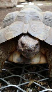 Breitrandschildkröten männlich