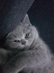Britische Kurzhaar Katzen