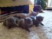 brizisch kurzhaar kitten