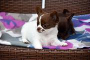 Chihuahua Babys mit