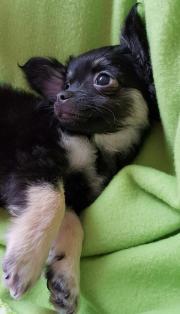 Chihuahua langhaar Rüde