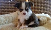 Chihuahua Welpe Schoko