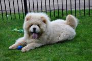 Chow Chow Junghunde