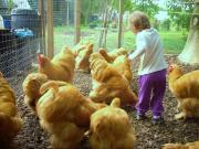 Cochin Hühner gelb,