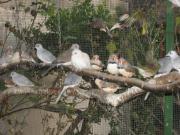 Diamanttauben kleine Ziertauben Vögel