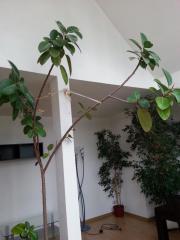 Zimmerpflanzen Groß zimmerpflanzen in groß gerau pflanzen garten günstige