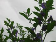 Engelstrompete versch Sorten Enzianstrauch Solanum