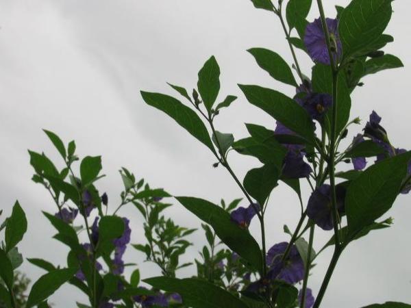 Enzianstrauch Solanum rantonettii Hochstamm
