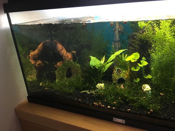 garnelen mit aquarium in andelsbuch fische aquaristik kaufen und verkaufen ber private. Black Bedroom Furniture Sets. Home Design Ideas