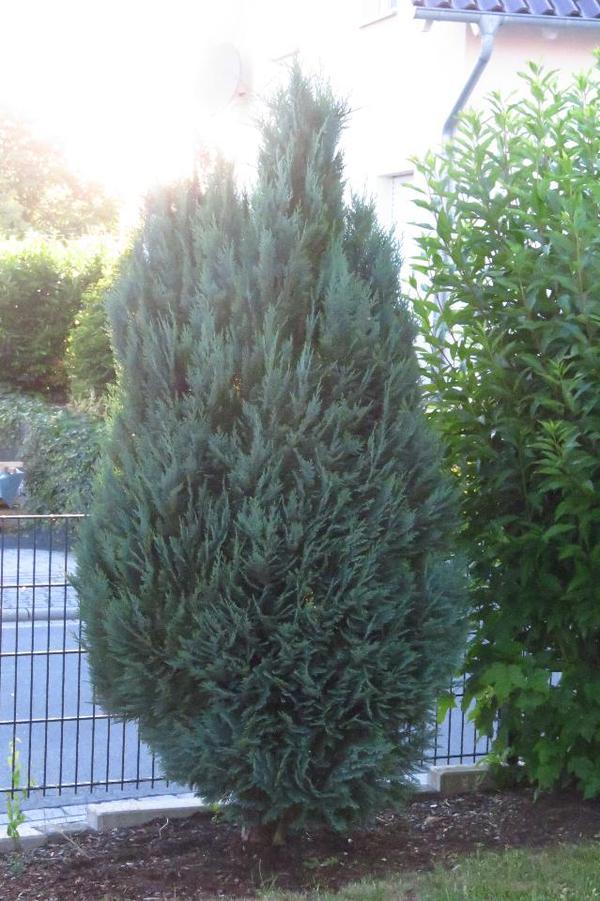 gartenpflanzen in montabaur - pflanzen kaufen und verkaufen über ... - Gartenpflanzen