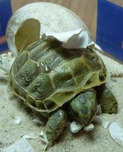 Gebe Steppenschildkröten mit