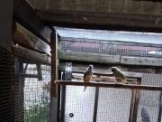 Gelbsteißsittiche, Zuchtpaare wegen