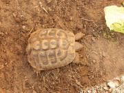 Griechische Landschildkröte ( Thb)