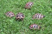 Griechische Landschildkröten-Eigene
