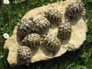 Griechische Landschildkröten, Nachzuchten