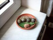 Griechische Landschildkröten (THB),