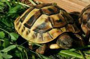 Griechische Landschildkröten, Thb. ,