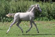 Hengstfohlen - Welsh Pony (