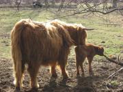 Highland Kuh mit
