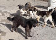Hirtenhundmixjunghunde