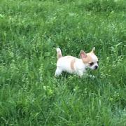 hübsche Kurzhaar Chihuahua