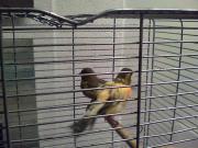Ich verkaufe Kanarienvögel