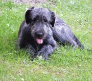 Irish Wolfhound Welpe