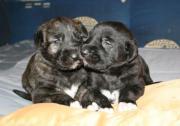 Irish Wolfhoundwelpen, VDH