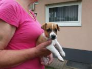 Jack-Russel-Terrier-