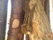 Junge Baumstreifenhörnchen