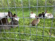 Junge Kaninchen/Hasen,