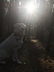 Junger Griechischer Hirtenhund