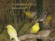 Kanarienvögel Kanarien verschiedene Farbschläge gelb