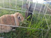 Kaninchen(2) zu