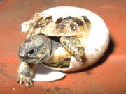 Kleinbleibende Griechische Landschildkröten Testudo hermanni